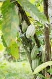 Una plantación del cacao Fotografía de archivo