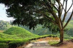 Una plantación en la montaña en el fondo - Ca del árbol y de té Foto de archivo libre de regalías
