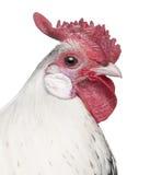 Una plata Spangled el gallo de Hamburgo (1 año) Fotografía de archivo libre de regalías