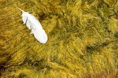 Una pluma del cisne que flota en el mar Imagenes de archivo
