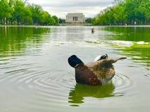 Una pluma limpia del pato en la piscina de reflejo en Washington DC Imágenes de archivo libres de regalías