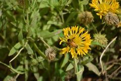 Una poca abeja de la miel chupa el sabor del girasol Foto de archivo