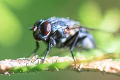 Una poca mosca Immagini Stock