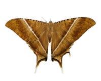 una polilla marrón grande Imagenes de archivo
