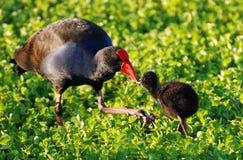 Una polla de agua de la fúlica del Rojo-Sello con su polluelo del bebé Fotos de archivo