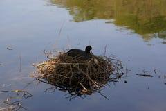 Una polla de agua negra - Elancourt - Francia Fotos de archivo