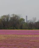 Una porción grande de un campo cubierto con las pequeñas flores púrpuras Imágenes de archivo libres de regalías