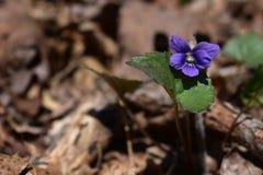 Una porpora viola nel legno Fotografia Stock Libera da Diritti