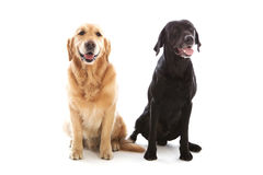 Una posa di due cani Fotografia Stock Libera da Diritti