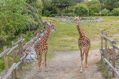 Una posa di due giraffe per la macchina fotografica Immagine Stock