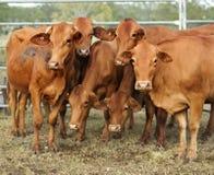 Una posa marrone delle sei mucche per la macchina fotografica Fotografia Stock Libera da Diritti