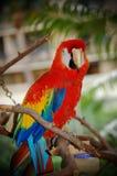 Una posa variopinta del pappagallo Fotografie Stock Libere da Diritti