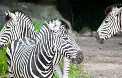 Una posizione delle due zebre Immagine Stock