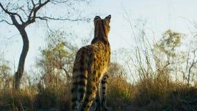 Una presa del gato del serval que oculta en la hierba, sabana, África foto de archivo