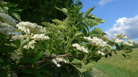 Una primavera floreciente hermosa del branchin de la baya del saúco Imagen de archivo