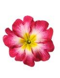 Una primaverina, un fiore isolato su bianco con le gocce Immagini Stock Libere da Diritti