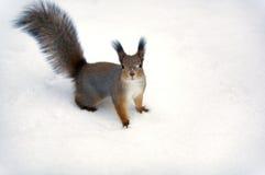 Una priorità bassa dello scoiattolo. Fotografia Stock