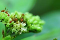 Una protezione della formica del fiore Immagine Stock Libera da Diritti