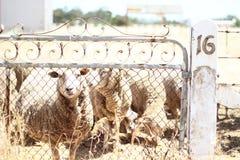 Una puerta para las ovejas fotografía de archivo libre de regalías