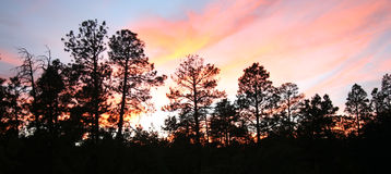 Una puesta del sol ardiente sobre los pinos de Ponderosa Fotos de archivo libres de regalías