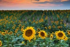 Una puesta del sol suave del girasol fotografía de archivo