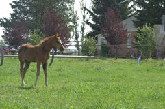 Una puledra quarta del cavallo fotografie stock