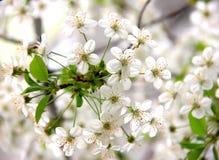 Una puntilla de flores de cerezo en las flores blancas de la primavera Fotografía de archivo libre de regalías