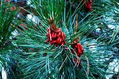 Una puntilla de la picea verde con los conos foto de archivo libre de regalías