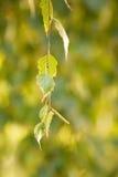 Una puntilla del abedul con las hojas verdes Imagen de archivo libre de regalías