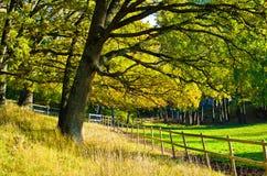 Una quercia in autunno con i fogli gialli fotografia stock