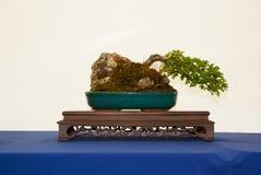 Una raíz azotada por el viento sobre bonsais del espino del estilo de la roca en una tabla hermosa de la exhibición en la demostr Foto de archivo libre de regalías