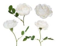 Una raccolta bianca isolata di quattro fiori del rovo Fotografia Stock Libera da Diritti