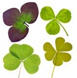 Una raccolta di quattro foglie del trifoglio su bianco Fotografia Stock