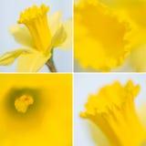 Una raccolta di quattro immagini del narciso Immagini Stock