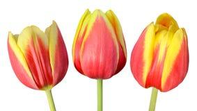 Una raccolta di tre Tulip Flowers Isolated su bianco Immagine Stock Libera da Diritti
