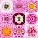 Una raccolta di un caleidoscopio concentrico rosa di nove mandale del fiore Immagini Stock Libere da Diritti