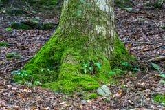 Una radice di un albero coperto di muschio fotografie stock libere da diritti