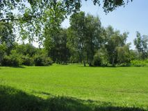 Una radura verde spaziosa della foresta con le alte betulle ed i piccoli cespugli nei precedenti Immagine Stock Libera da Diritti