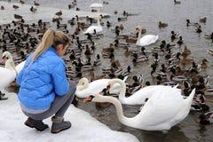 Una ragazza alimenta gli uccelli acquatici sulla riva di un lago nell'inverno fotografie stock libere da diritti