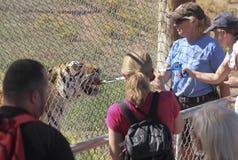 Una ragazza alimenta il Bengala Tiger Meat Immagine Stock Libera da Diritti