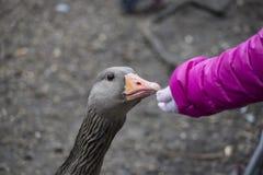 Una ragazza che estende la sua mano per alimentare un'oca selvatica Fotografie Stock Libere da Diritti
