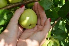 Una ragazza con un manicure piacevole seleziona le mele dall'albero in frutteto Immagine Stock Libera da Diritti