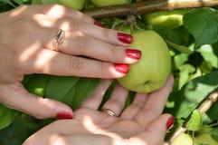 Una ragazza con un manicure piacevole seleziona le mele dall'albero in frutteto Immagini Stock Libere da Diritti