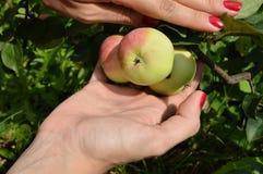 Una ragazza con un manicure piacevole seleziona le mele dall'albero in frutteto Immagine Stock