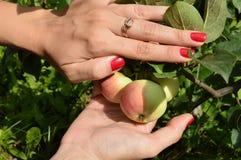 Una ragazza con un manicure piacevole seleziona le mele dall'albero in frutteto Fotografia Stock Libera da Diritti
