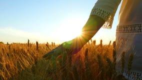 Una ragazza in una mano bianca del vestito tocca le spighette di grano in un campo contro il contesto di un tramonto stock footage