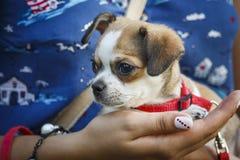 Una ragazza sta tenendo un piccolo cane Immagini Stock