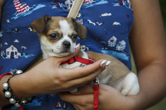 Una ragazza sta tenendo un piccolo cane Fotografie Stock