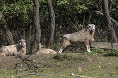 Una ram con le pecore nel recinto per bestiame Fotografia Stock Libera da Diritti