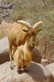 Una ram del mouflon che si leva in piedi su una roccia Immagine Stock Libera da Diritti